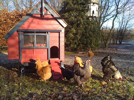 The Hargrave hen house with Brahmas and Orpingtons, enjoying the Winter sunshine.